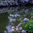 紫陽花の咲く池